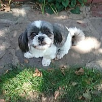 Shih Tzu Dog for adoption in Doylestown, Pennsylvania - Bindy