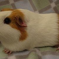 Adopt A Pet :: Herculisa - Highland, IN
