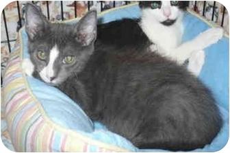 Domestic Mediumhair Kitten for adoption in Colmar, Pennsylvania - Matisse