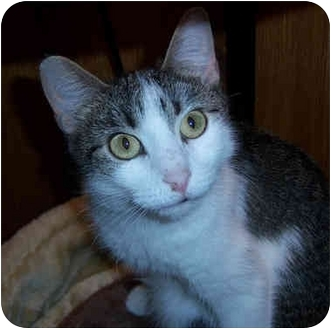 Domestic Shorthair Cat for adoption in Youngwood, Pennsylvania - Mamacita