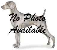 Weimaraner Dog for adoption in Eustis, Florida - Shadow
