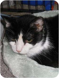 Domestic Shorthair Cat for adoption in Vienna, Virginia - Seraphina