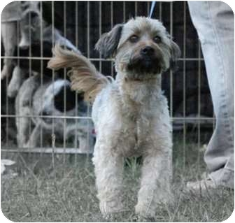 Yorkie, Yorkshire Terrier/Poodle (Miniature) Mix Dog for adoption in Haughton, Louisiana - Jack (Lucky Dog Rescue)