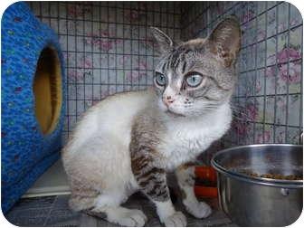 Siamese Cat for adoption in Turlock, California - 0531-1105