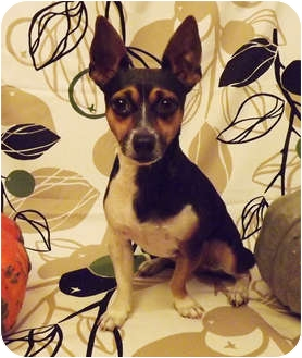Rat Terrier/Fox Terrier (Toy) Mix Dog for adoption in Dallas, Texas - Pepper