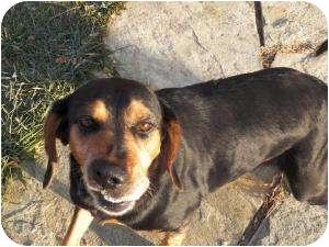 Black and Tan Coonhound Mix Dog for adoption in Burnsville, North Carolina - Jaycee