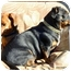 Photo 3 - Dachshund/Chihuahua Mix Dog for adoption in Spokane, Washington - Pud AKA Spud