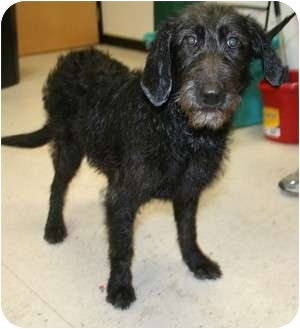 Labradoodle Mix Dog for adoption in Westminster, Colorado - Bellagio