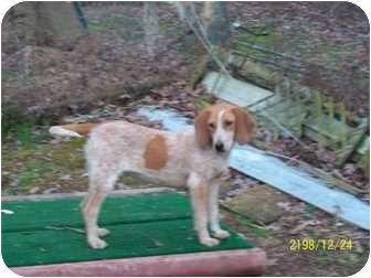 Beagle/Hound (Unknown Type) Mix Dog for adoption in Hohenwald, Tennessee - Noel