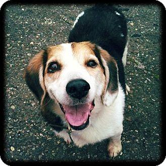 Beagle Dog for adoption in Tiburon, California - Herman