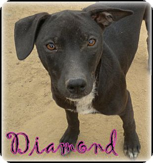 Australian Kelpie/Australian Cattle Dog Mix Puppy for adoption in Bakersfield, California - Diamond