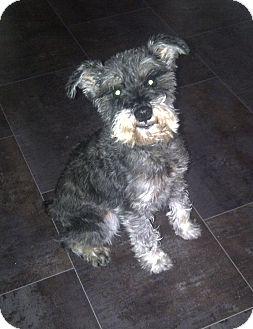 Schnauzer (Miniature) Dog for adoption in Rigaud, Quebec - Frodo