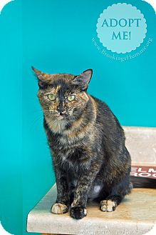 Domestic Shorthair Cat for adoption in Brookings, South Dakota - Teresa