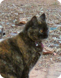 American Shorthair Cat for adoption in Jemez Springs, New Mexico - Tara