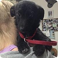 Adopt A Pet :: Puma - Encinitas, CA