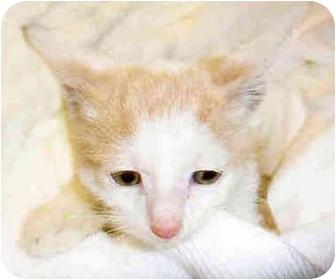 Domestic Shorthair Kitten for adoption in San Clemente, California - SPRINKLES = Kitten
