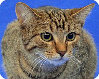 Domestic Shorthair Cat for adoption in Warren, Michigan - Pebbles