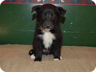 Collie/Husky Mix Puppy for adoption in North Judson, Indiana - Badger
