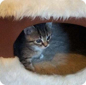 Domestic Shorthair Kitten for adoption in Nashville, Tennessee - Joy