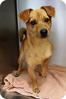 Chihuahua/Dachshund Mix Dog for adoption in Lawrenceville, Georgia - Kasey