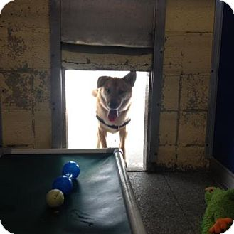 Shepherd (Unknown Type)/Retriever (Unknown Type) Mix Dog for adoption in Reisterstown, Maryland - Marty