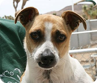 Chihuahua Mix Dog for adoption in Yucca Valley, California - Pato Sizzling Samba