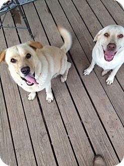 Labrador Retriever Mix Dog for adoption in Austin, Texas - Kolbe