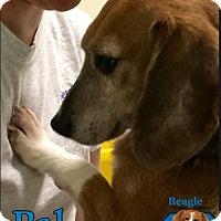 Adopt A Pet :: Pal - Yardley, PA