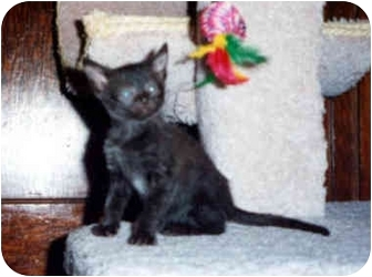 Domestic Shorthair Cat for adoption in Owatonna, Minnesota - Ace