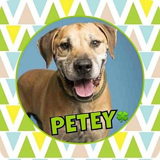 Labrador Retriever Mix Dog for adoption in Scottsdale, Arizona - Petey