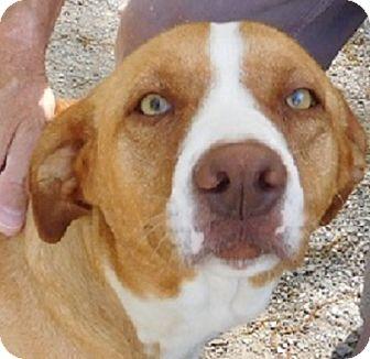 Labrador Retriever Mix Dog for adoption in Oakland, Arkansas - Kat