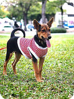 Labrador Retriever/Shepherd (Unknown Type) Mix Puppy for adoption in San Mateo, California - Sammy