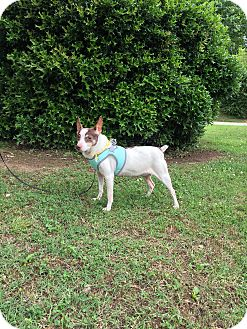 Jack Russell Terrier/Chihuahua Mix Dog for adoption in Pulaski, Tennessee - Izzy