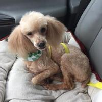 Poodle (Miniature) Mix Dog for adoption in Baton Rouge, Louisiana - Peaches03102017