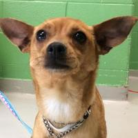 Rat Terrier Mix Dog for adoption in Toronto, Ontario - Jill