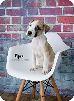 Bull Terrier Mix Puppy for adoption in Denver, Colorado - Piper