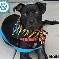 Adopt A Pet :: Bailey - Kimberton, PA