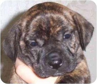Dachshund/Boston Terrier Mix Puppy for adoption in Princeton, Indiana - Doc