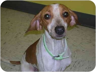 Italian Greyhound/Beagle Mix Dog for adoption in HARRISONVILLE, Missouri - Gretchen
