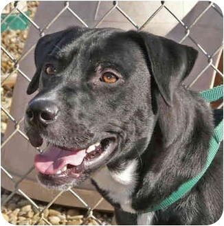 Labrador Retriever/Retriever (Unknown Type) Mix Dog for adoption in Berea, Ohio - Bosco