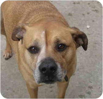Boxer/Rhodesian Ridgeback Mix Dog for adoption in Chicago, Illinois - Daniella(ADOPTED!)