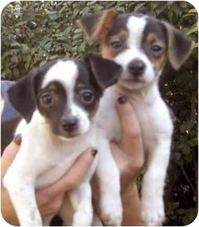Chihuahua Mix Puppy for adoption in Rolling Hills Estates, California - Charlie & Cappy