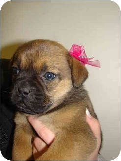 Pug Mix Puppy for adoption in Vandalia, Illinois - Sienna