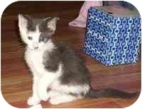 Domestic Shorthair Kitten for adoption in Tampa, Florida - Oscar