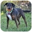 Photo 3 - Catahoula Leopard Dog/Terrier (Unknown Type, Small) Mix Dog for adoption in Portsmouth, Rhode Island - Belle
