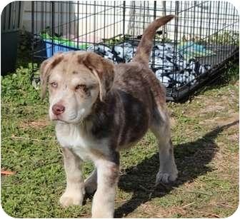 Australian Shepherd Mix Puppy for adoption in Spring Valley, New York - Tango