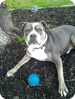 Staffordshire Bull Terrier/American Pit Bull Terrier Mix Dog for adoption in New York, New York - Max
