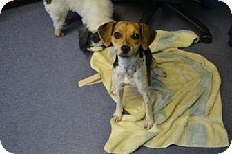 Beagle Mix Dog for adoption in Edwardsville, Illinois - Mandy
