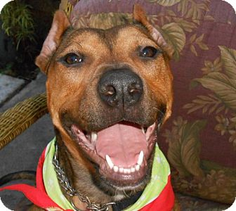 Staffordshire Bull Terrier Mix Dog for adoption in Ormond Beach, Florida - Zahra