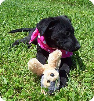 Labrador Retriever Mix Puppy for adoption in Glastonbury, Connecticut - NUTMEG/Summer Special Pricing